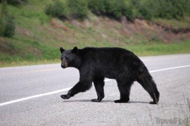 black-bear-crossing-the-road